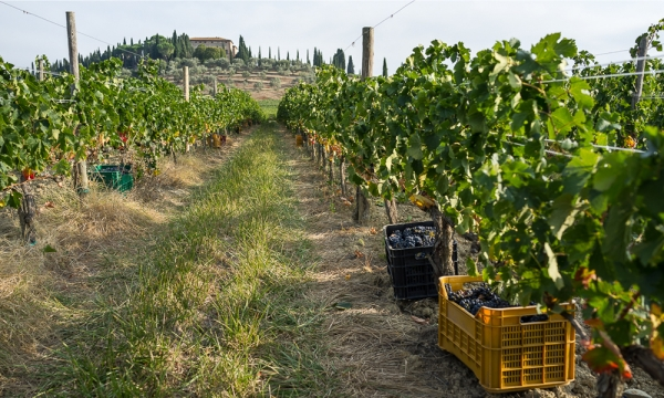 The vineyards in the denomination Brunello di Montalcino di Argiano | The cellars of Argiano | The barrels of Argiano in Montalcino | The vineyards in the spring of Argiano ||