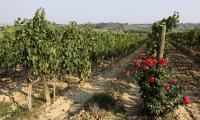 Le vigne a Montepulciano di Podere Le Bèrne