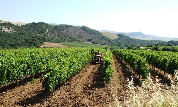 The vineyards in the Brunello di Montalcino name of the Uccelliera company